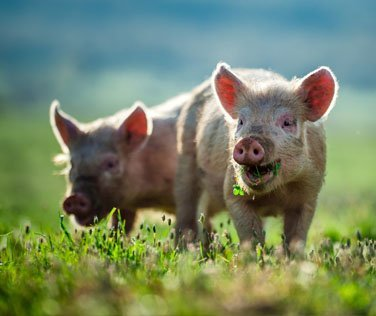 Our Lean Little pig story